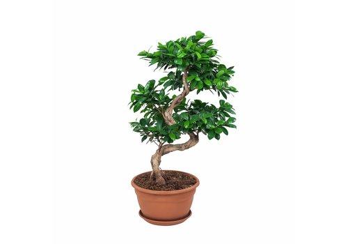 Ficus Gin Seng Bonsai