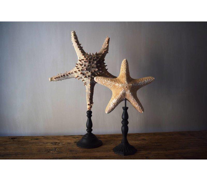 Zee-ster Oranje
